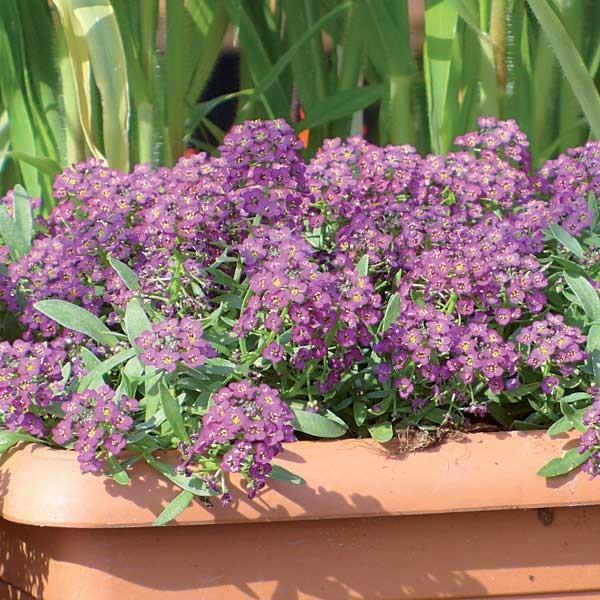duftsteinrich 39 violet honey 39. Black Bedroom Furniture Sets. Home Design Ideas