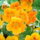 Kapuzinerkresse 'Alaska Deep Orange'