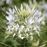 Spinnenpflanze 'White Queen'