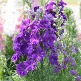 Einjähriger Rittersporn 'Lilac Spire'