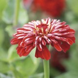 Zinnie Zwerg 'Vision Red' F1