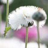 Große Duftflockenblume 'Brautstrauß'