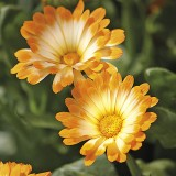 Zwerg-Ringelblume 'Daisy'