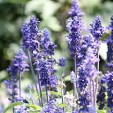 Ährensalbei 'Victoria Blue'