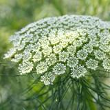 Bischofskraut 'Green Mist'