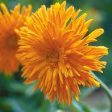 Spitz-Ringelblume