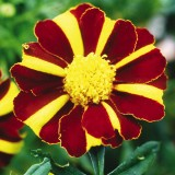 Tagetes 'Mr. Majestic'