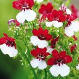 Elfenspiegel Rot-Weiß
