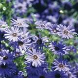 Blaues Gänseblümchen Brachyscome