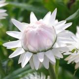 Strohblume 'Silvery White'