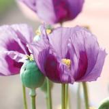 Mohn Dark Lilac