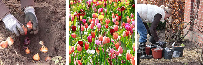 Tulpenpflanzen