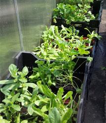 Zum Auspflanzen bereit