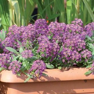 ES118 Duftsteinrich 'Violet Honey'