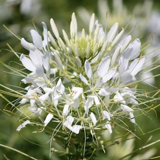 ES54 Spinnenpflanze 'White Queen'