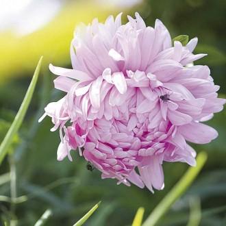 ES106 Sommeraster 'Duchess Rose'
