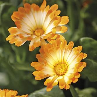 ES163 Zwerg-Ringelblume 'Daisy'
