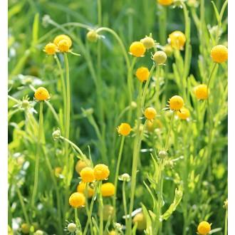 ES208 Gummibärchenblume