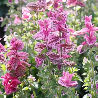 ES266 Buntschopfsalbei 'Pink Sundae'