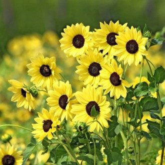 ES279 Sonnenblume 'Soluna Lemon'