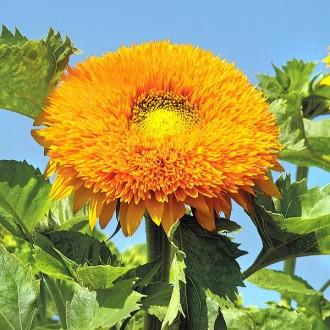 ES297 Sonnenblume 'Orange Sun'