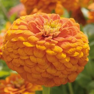 Z22 Zinnie 'Orange King'