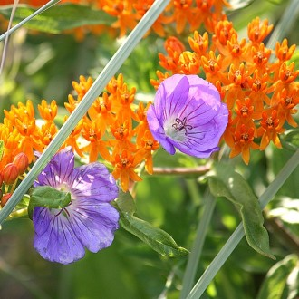 F81 Orange Seidenpflanze