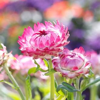 HC14 Strohblume 'Bright Rose'