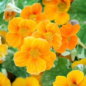 K37 Kapuzinerkresse 'Alaska Deep Orange'