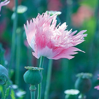 M30 Mohn 'Rose Feathers'