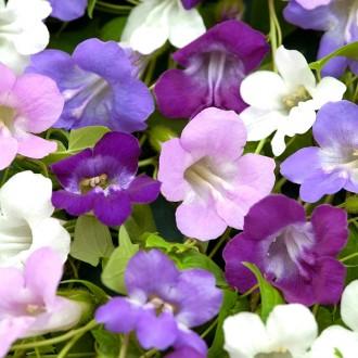 R92 Kletter-Löwenmäulchen 'Violett-Pastell-Mix'