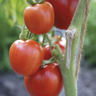T34 Tomate Roma