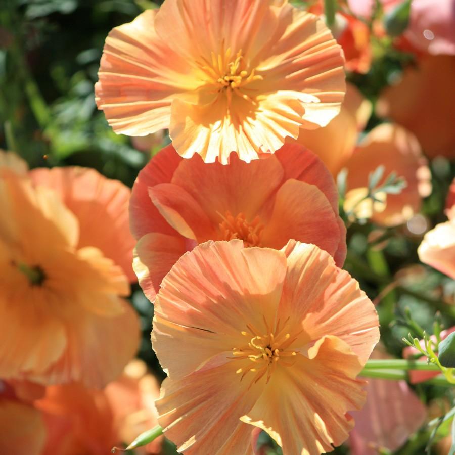 goldmohn thai silk 'apricot chiffon'