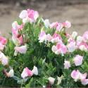 Zwergwicke 'Cupid Pink'