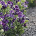 Zwergwicke 'Bounce Dark Violet'