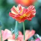 ES166 Goldmohn 'Thai Silk Strawberry Peach'