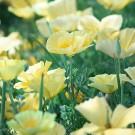 ES167 Goldmohn 'Butterbush'