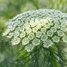 ES215 Bischofskraut 'Green Mist'