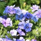 ES22 Sommerphlox 'Nana Blue'