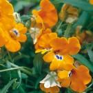 ES24 Elfenspiegel 'Prince of Orange'