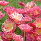 ES25 Goldmohn 'Thai Silk Rose Chiffon'
