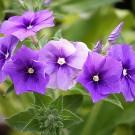 ES265 Sommerphlox 'Beauty Violet'
