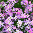 ES289 Meerviole 'Spring Sparkle'