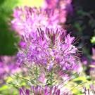 ES295 Spinnenpflanze 'Violet Queen'