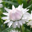 HC10 Strohblume 'Silvery White'