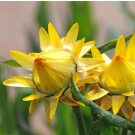 HC11 Strohblume 'Lemon Yellow'