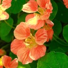 K44 Kapuzinerkresse 'Top Flowering Apricot'