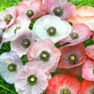 M25 Mohn 'Mother of Pearl'