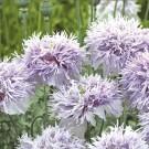 M36 Mohn 'Lilac Pompon'