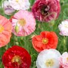 M41 Mohn 'Poppy Grace'